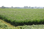 Commercial production of alfalfa